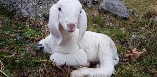 Pecore sperdute in val di Nardìs, ancora vive nonostante il maltempo e i predatori