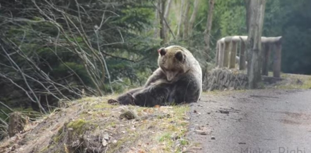Orso in Val Rendena, le spettacolari immagini riprese da Mirko Righi