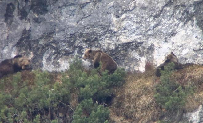 Trentino, orsi in in amore. I video del Servizio Foreste e fauna della PAT