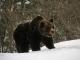 Hai visto l'orso? aiutaci a conoscerlo meglio! Il Parco Naturale Adamello Brenta chiede i dati per una ulteriore ricerca